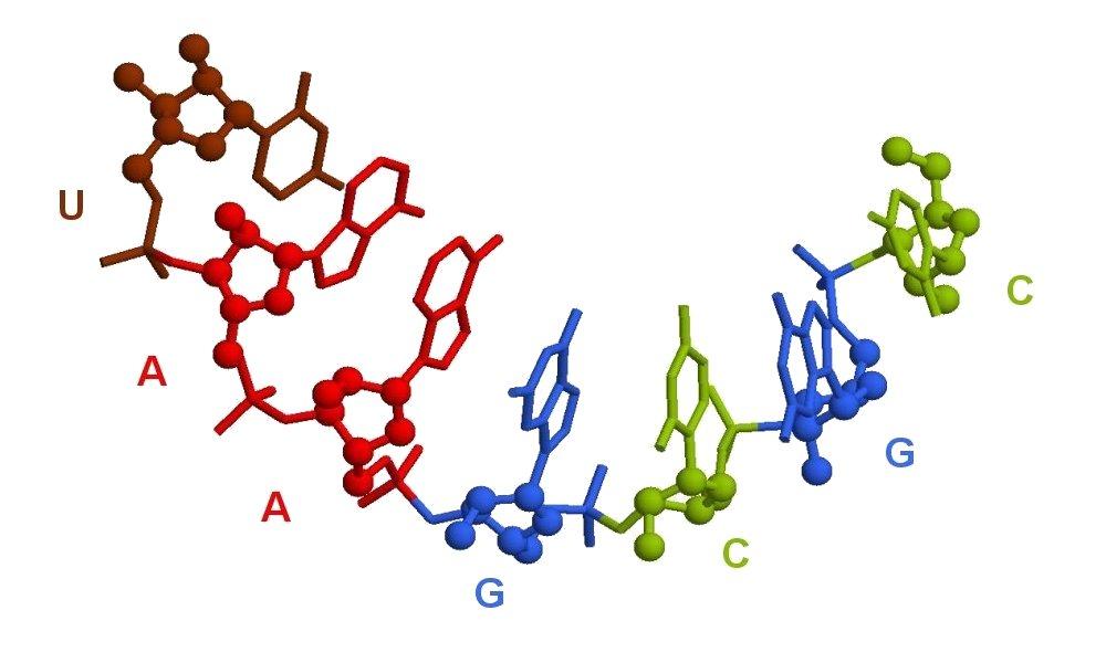 molécule arn rastop