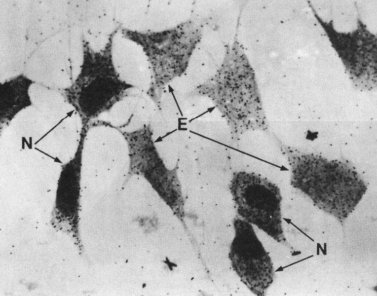 localisation cellulaire de la synthèse protéique