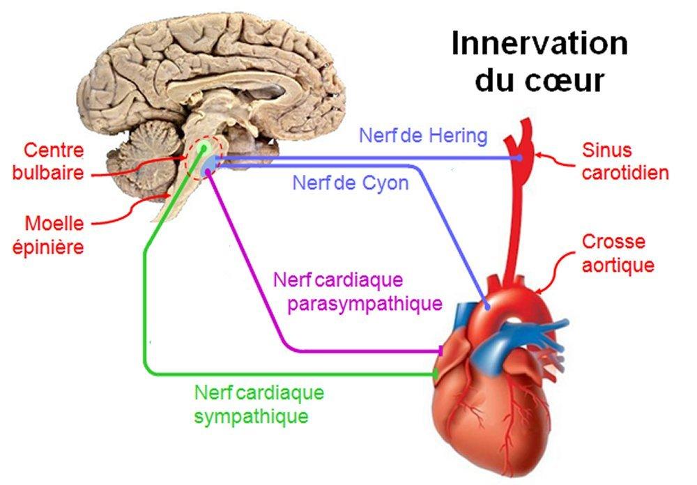 schéma du Sinus carotidien