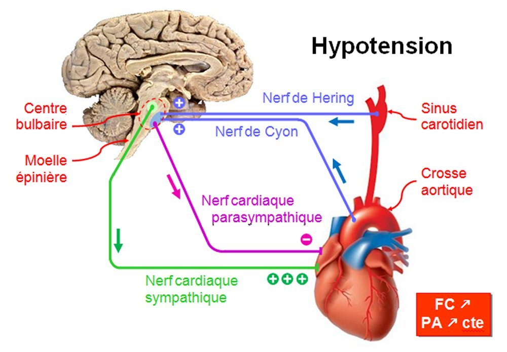 comment augmenter hypotension
